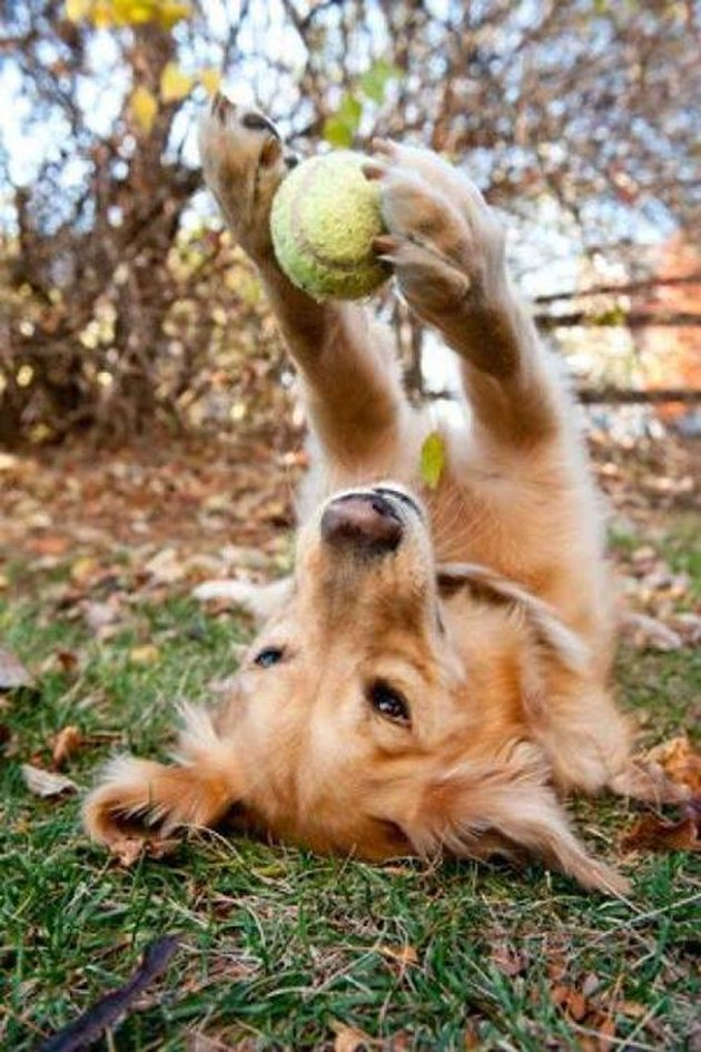 Dog on its back holding tennis ball aloft between paws.