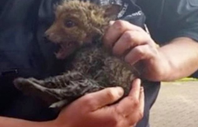 Must-See Video of Fox Cub Rescued & Reunited With Mom