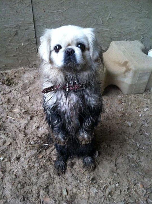 Muddy Pekingese