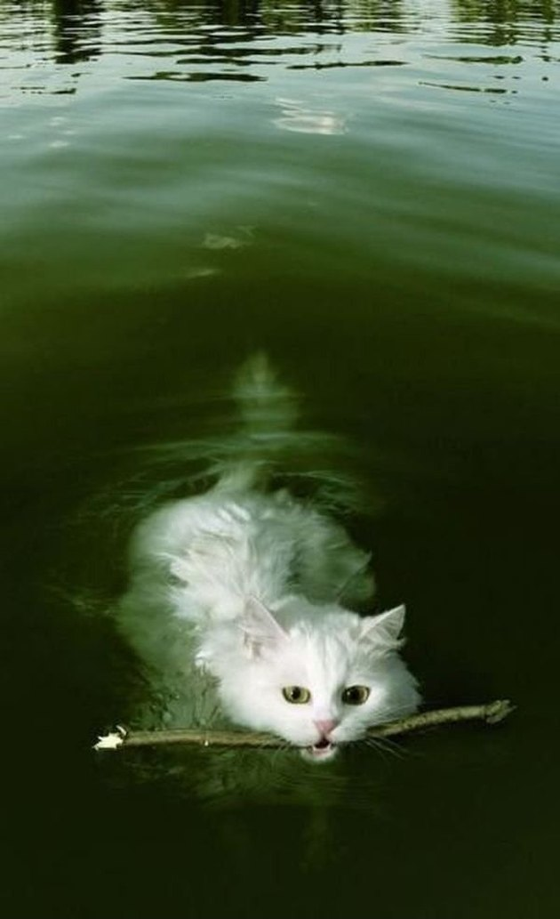 Cat swimming with stick in its mouth.