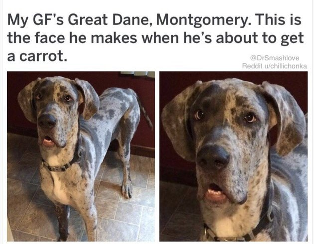 Great Dane making a funny face. Caption: My GF's Great Dane, Montgomery. This is the face he makes when he's about to get a carrot.