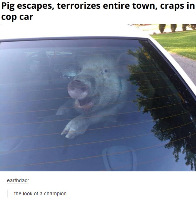Pig in backseat of car. Caption: Pig escapes, terrorizes entire town, craps in cop car