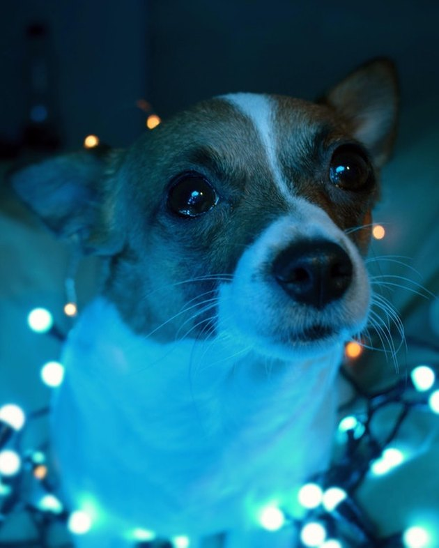 Jack Russel Terrier surrounded in Christmas lights