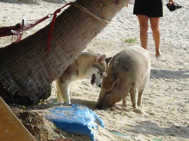 Husky and pig