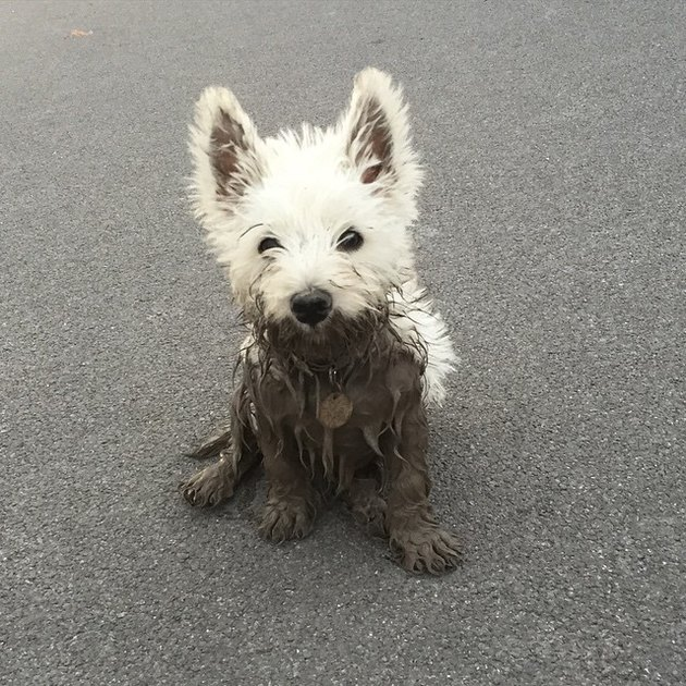 Fluffy white dog partially covered in mud.