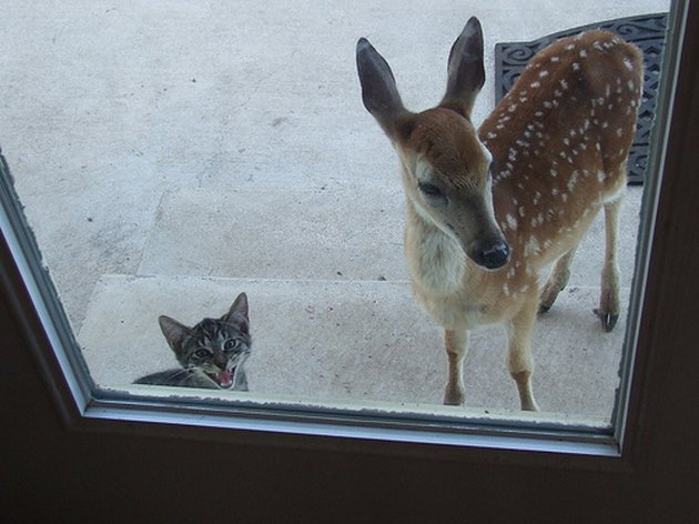 Cat and fawn looking through window.