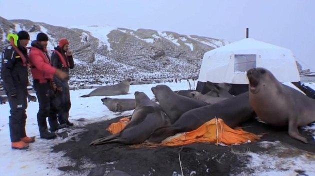 Seals trampling campsite.