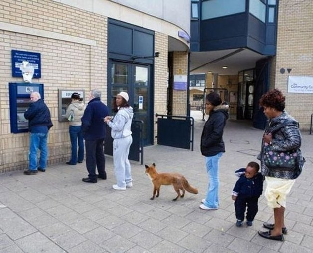 Fox at British ATM