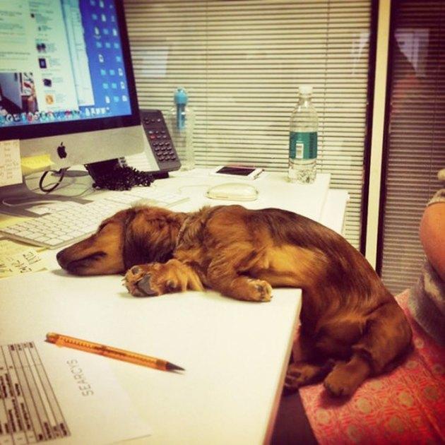 Dog asleep on desk