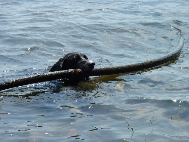 dog drags pipe out of lake