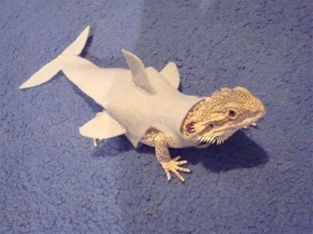 Lizard in a shark costume.