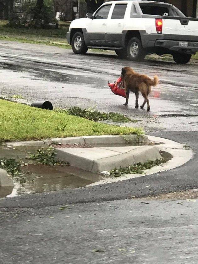 otis carrying dog food