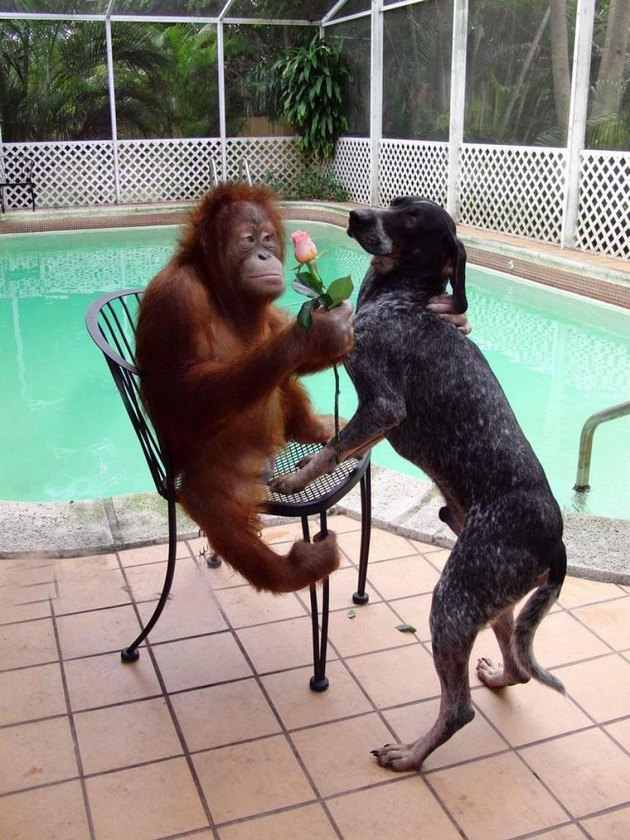 Orangutan holding a rose with a dog