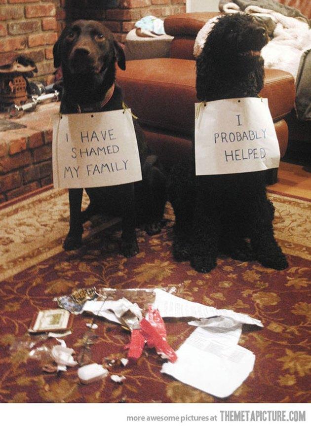Labrador and poodle getting dog-shamed.