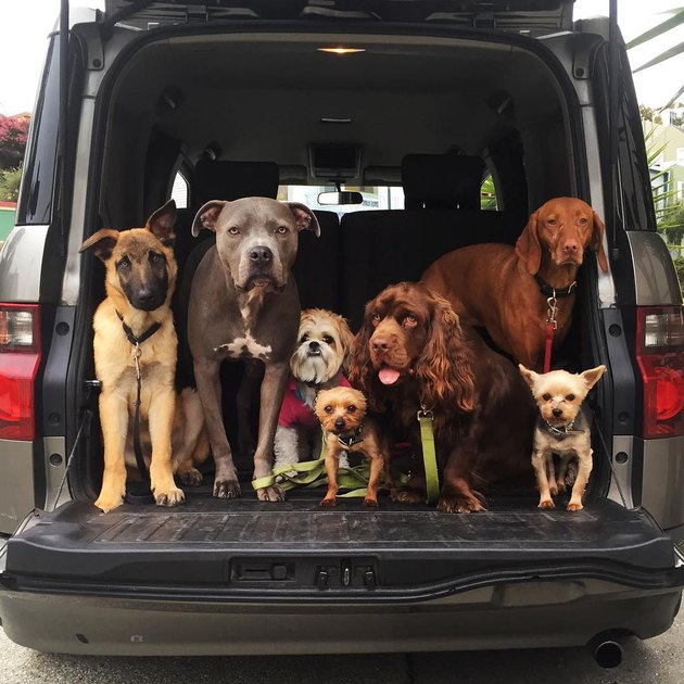 Assorted dog breeds in back of car.