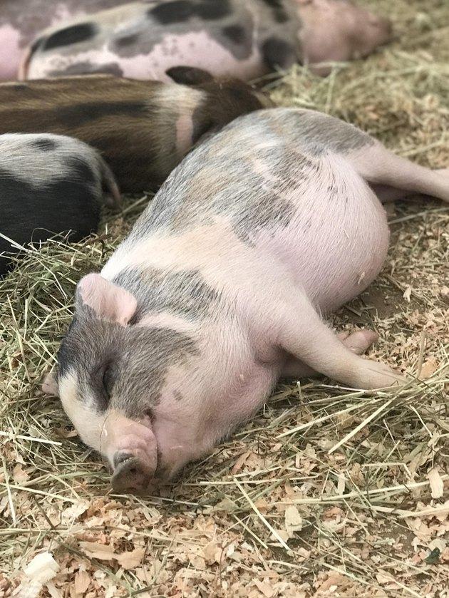 Sleeping piglet.