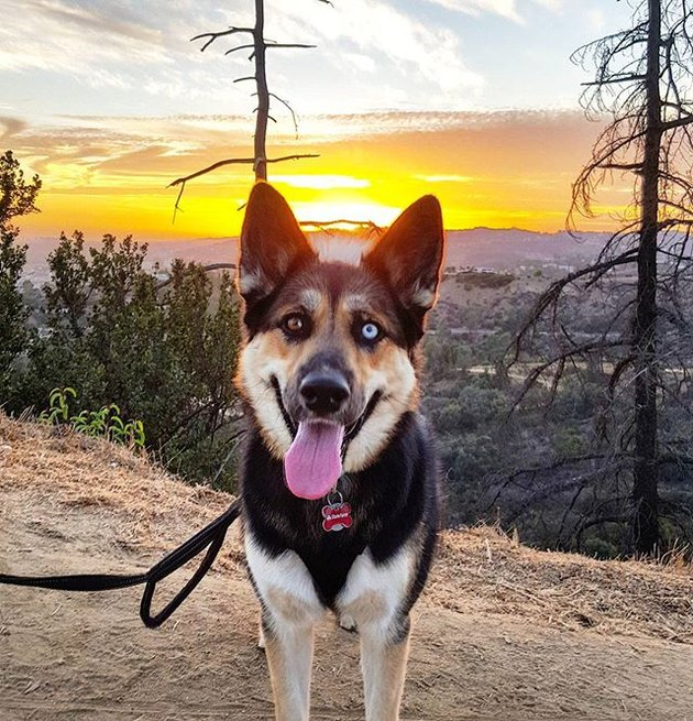 Gerberian Shepsky on hike