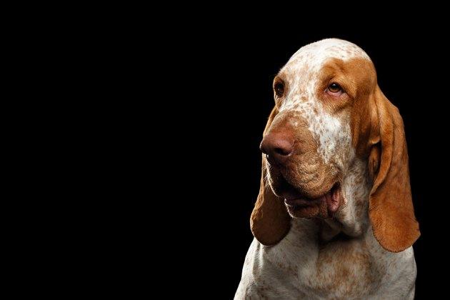 Bracco Italiano Dog Breed Facts & Information