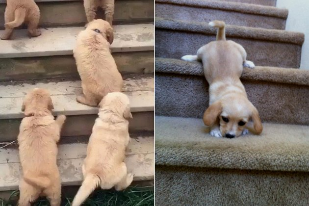 22 Puppies Climbing Stairs For The First Time