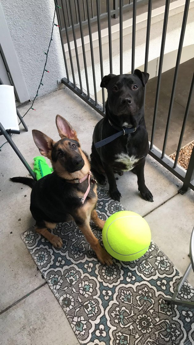 Two dogs next to oversize novelty tennis ball.