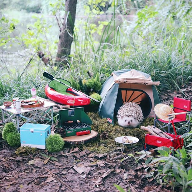 Camping hedgehog is living his very best life