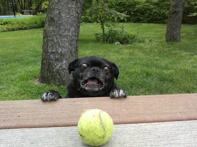 Excited dog looking at tennis ball on table.