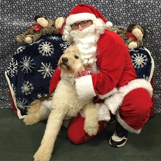 Large white dog going limp in Santa's arms.