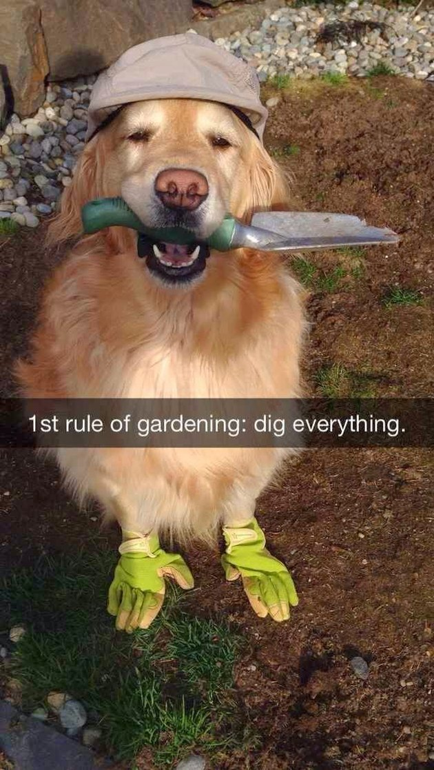 Dog in gardening outfit.