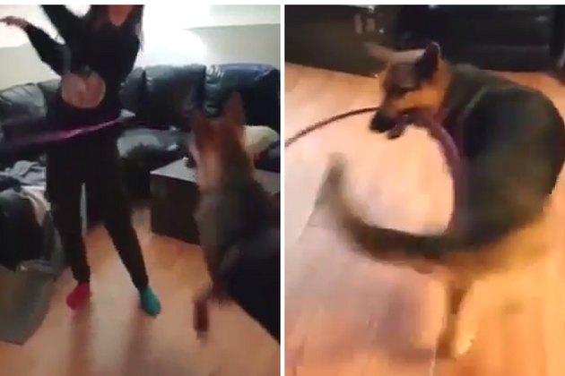 Hula hooping German shepherd