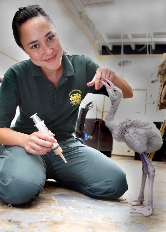 caring for baby flamingos