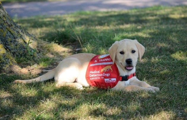 Medical dog in training