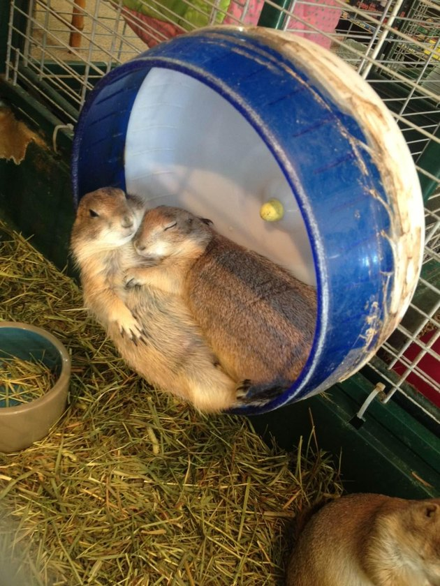 Prairie dogs sleeping on a small running wheel.