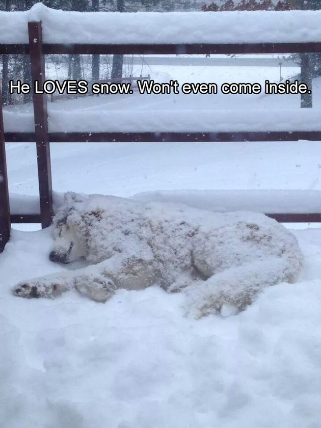 Dog lying in snow. Caption: He LOVES snow. Won't even come inside.