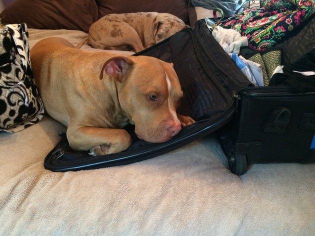 Dog laying on suitcase.