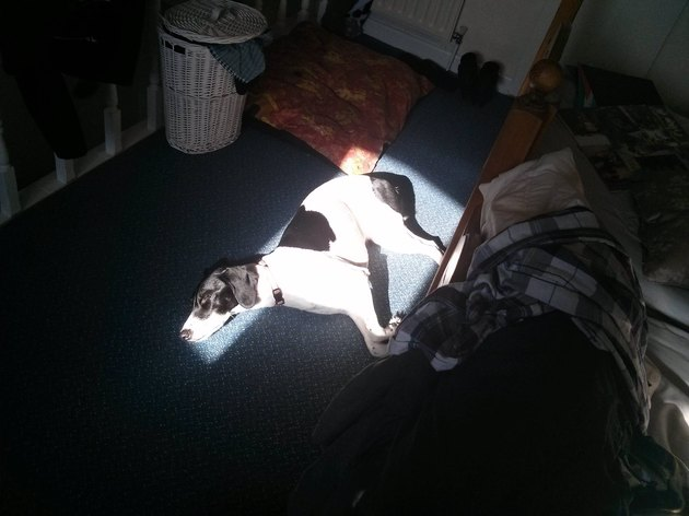 Dog lying in perfectly shaped patch of sun.