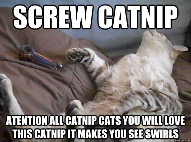 16 Signs Your Cat Is Hooked on Catnip