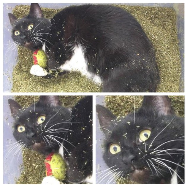 Cat stoned on catnip