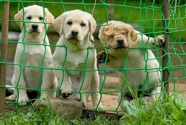 Three puppies, one with its head stuck in a fence.