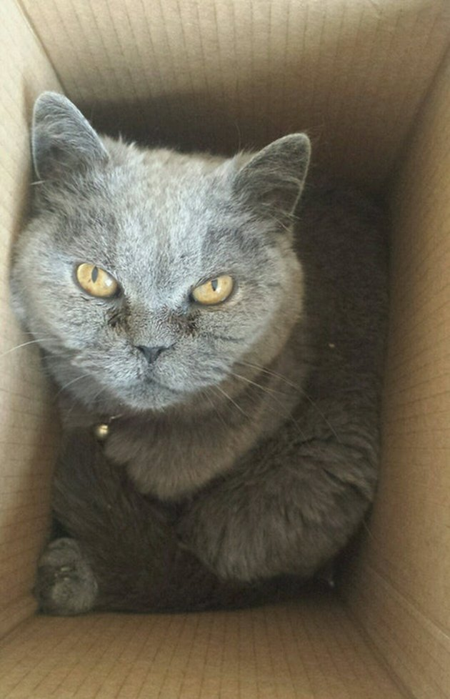 Angry cat in a box looking up.