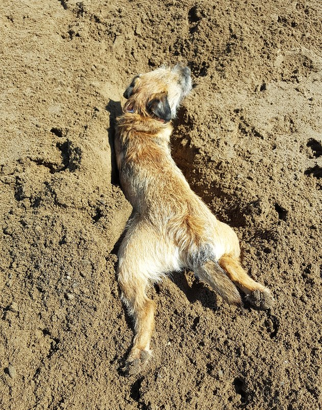Dog lying in sand on stomach with legs spread behind it