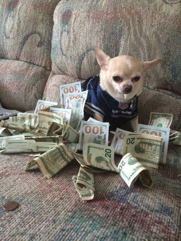 Chihuahua surrounded by cash