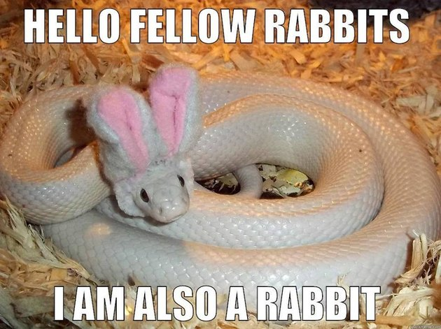 White snake wearing bunny ears.