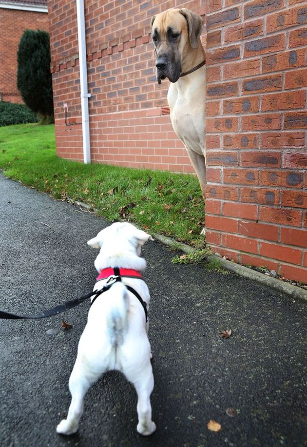 Great Dane looks intimidated by small dog.