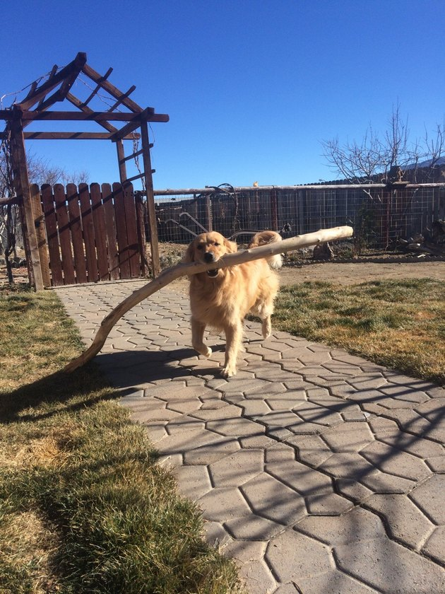 Dog with big, polished branch