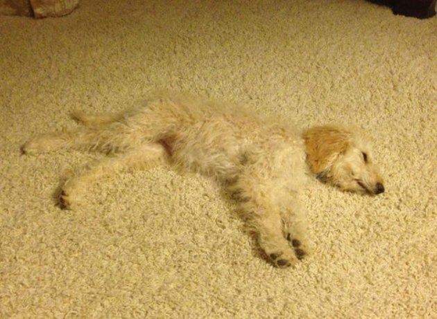 A dog with curly white hair blends in with the surrounding carpet.