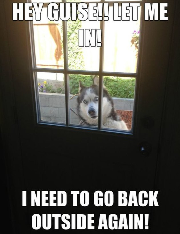 Husky standing outside garden door. Caption: Hey guise!! Let me in! I need to go back out again!""