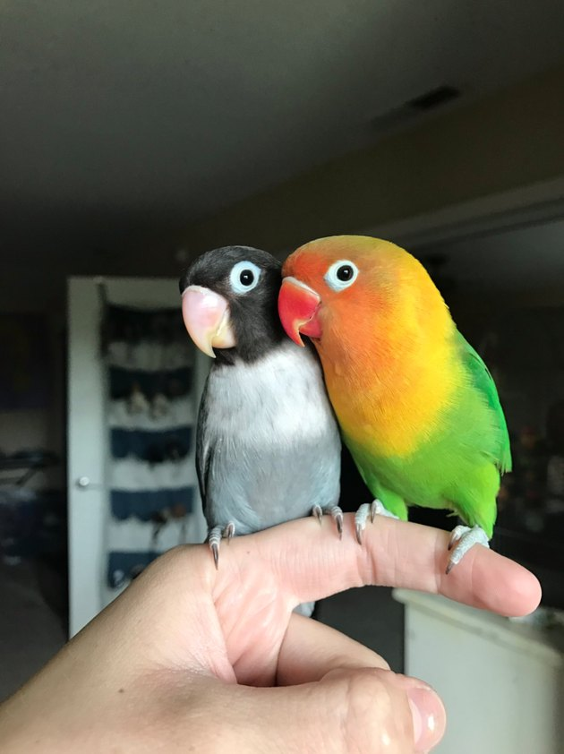 Canoodling parrots are your new favorite lovebirds