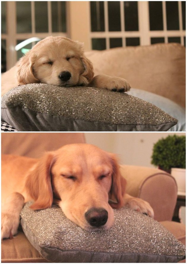 cute dog resting his head on a pillow as a puppy and as a big dog