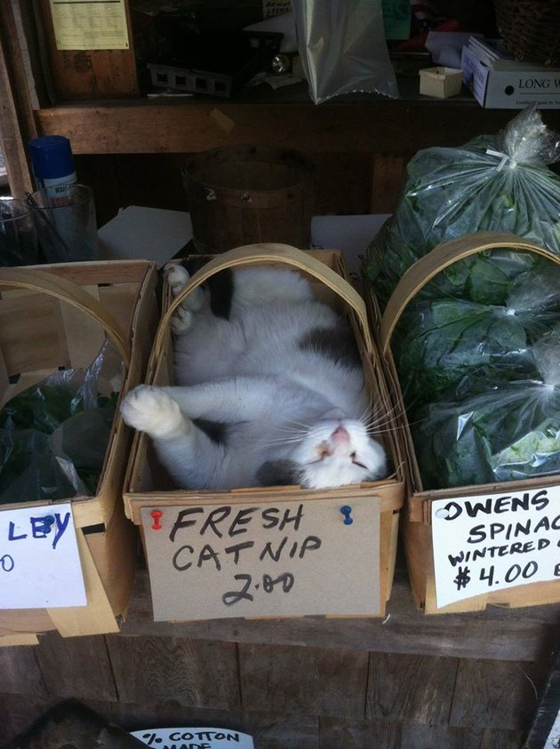 Cat naps in box of catnip