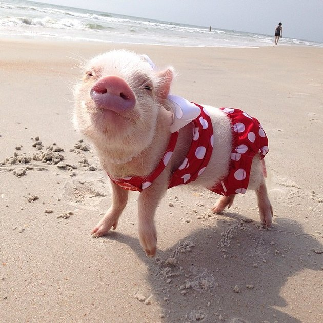 Piglet on a beach in a swimsuit.